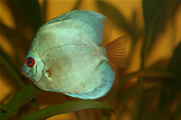 Angel Blue Diamond Discus Foto�raf Galerisi 2