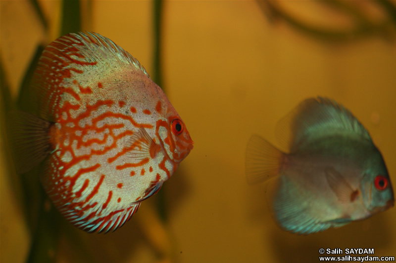 Angel Blue Diamond Discus ve White Pigeon Discus Foto�raf Galerisi