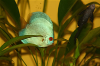 Angel Blue Diamond Discus ve Vatoz Foto�raf Galerisi