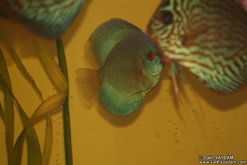 Angel Blue Diamond Discus ve Red Turquoise Discus Foto�raf Galerisi