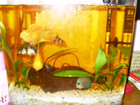 Discus, Clown Loach and Parrot Cichlid Photo Gallery