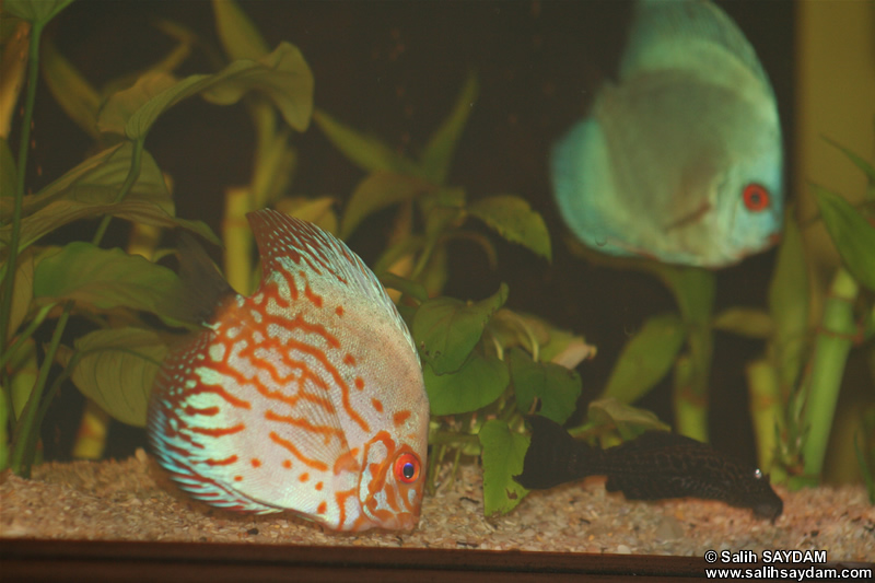 Various Discus & Pleco Photo Gallery