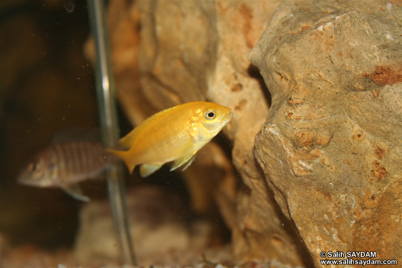 Electric Yellow Cichlid & Yellow Peacock Cichlid Photo 2
