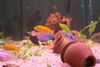 Electric Yellow Cichlid, Yellow Peacock Cichlid, Malawi Blue Dolphin Cichlid & Albino Zebra Cichlid Photo Gallery