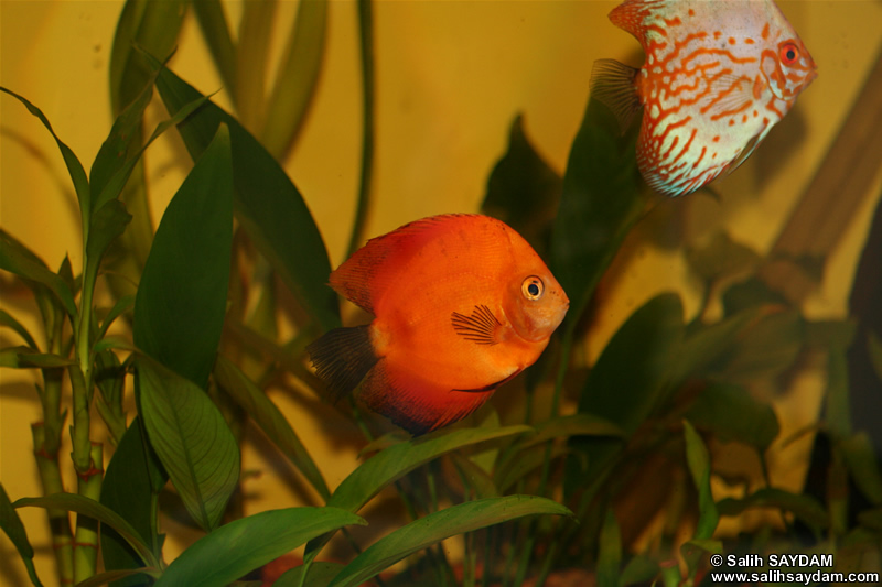 Marlboro Rojo Discus & White Pigeon Discus Photo Gallery