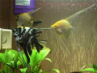 Angelfish Photo Gallery