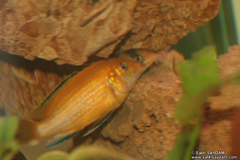 Electric Yellow Cichlid & Clown Loach Photo Gallery 1