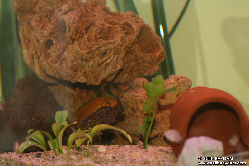 Electric Yellow Cichlid, Clown Loach & Pleco Photo