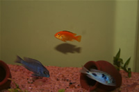 Electric Yellow Cichlid & Malawi Blue Dolphin Cichlid Photo Gallery