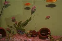 Electric Yellow Cichlid, Malawi Blue Dolphin Cichlid & Albino Zebra Cichlid Photo Gallery
