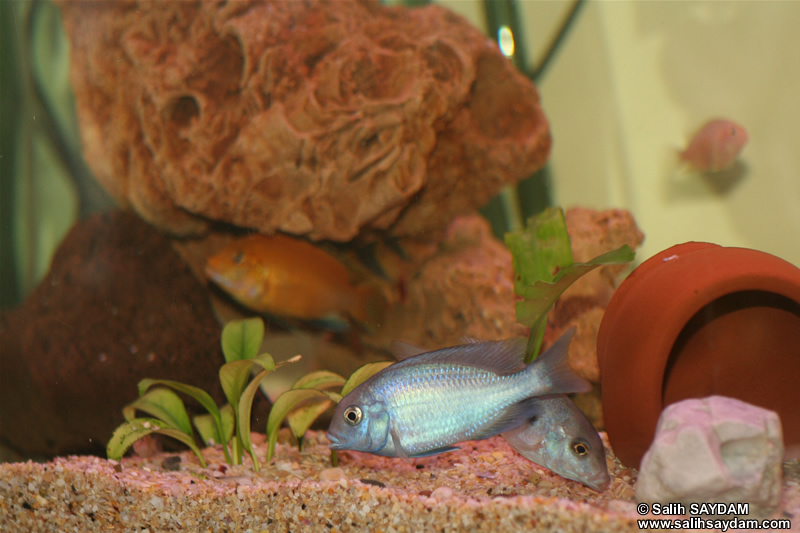 Electric Yellow Cichlid, Malawi Blue Dolphin Cichlid, Albino Zebra Cichlid & Clown Loach Photo Gallery
