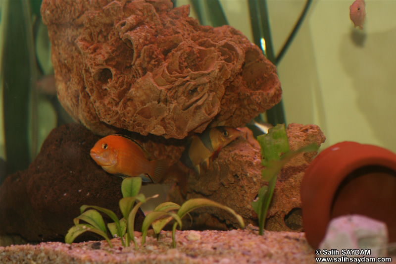 Electric Yellow Cichlid, Albino Zebra Cichlid & Clown Loach Photo Gallery