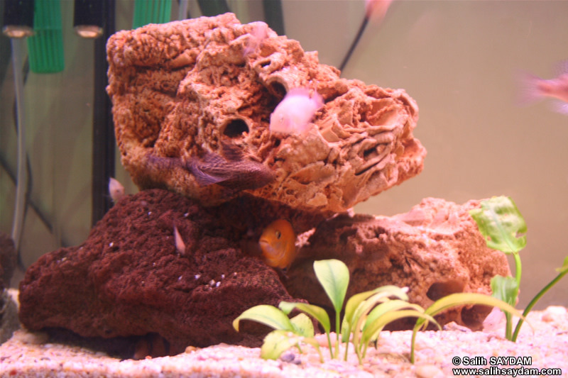 Electric Yellow Cichlid, Albino Zebra Cichlid, Clown Loach & Pleco Photo Gallery