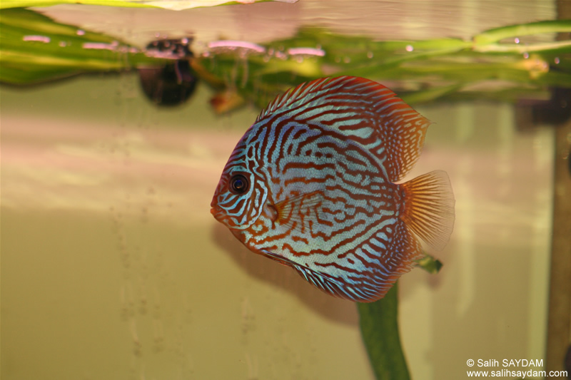 Red Turquoise Discus Photo Gallery 1