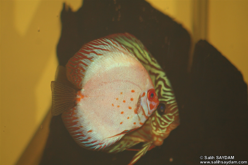 Red Turquoise Discus & White Pigeon Discus Photo Gallery