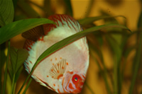 White Pigeon Discus Photo Gallery 2