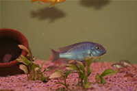 Malawi Blue Dolphin Cichlid Photo Gallery 1