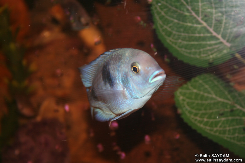 Malawi Blue Dolphin Cichlid Photo Gallery 2
