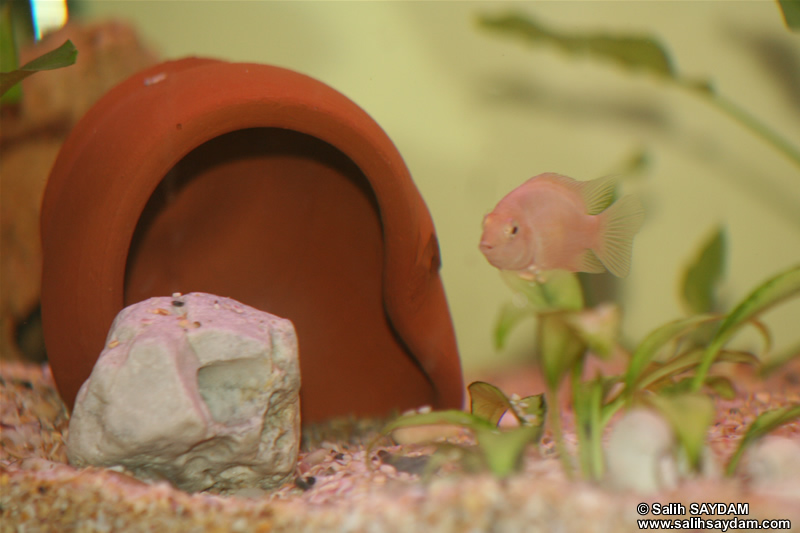 Albino Zebra Cichlid Photo Gallery 1
