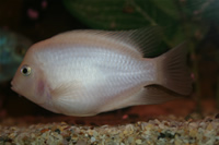 Albino Zebra Cichlid Photo Gallery 2