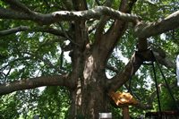 Historical Plane Tree (Platanus Orientalis) Photo Gallery 1 (Bursa)