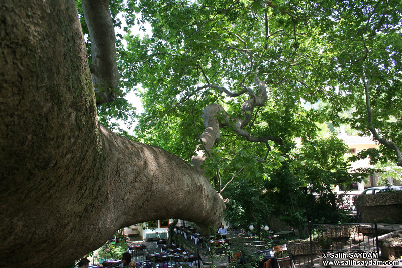 Historical Plane Tree (Platanus Orientalis) Photo Gallery 2 (Bursa)