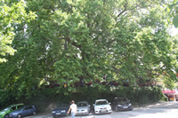 Historical Plane Tree (Platanus Orientalis) Photo Gallery 3 (Bursa)