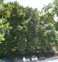 Historical Plane Tree (Platanus Orientalis) Photo Gallery 4 (Bursa)