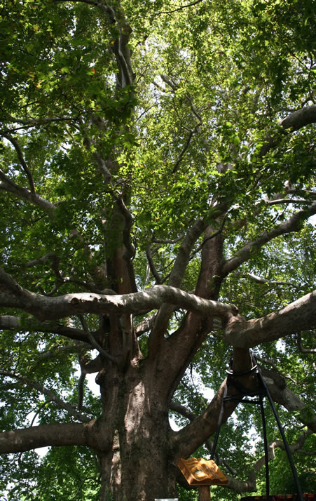 Vertical Panorama of Historical Plane Tree (Platanus Orientalis) 1 (Bursa)