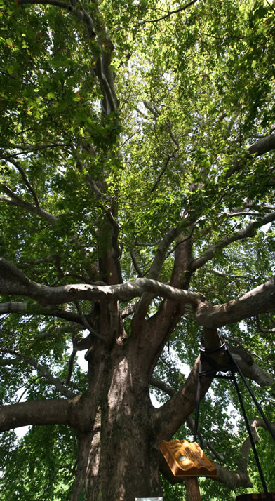 Vertical Panorama of Historical Plane Tree (Platanus Orientalis) 2 (Bursa)