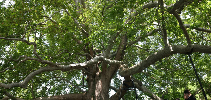 Panorama of Historical Plane Tree (Platanus Orientalis) 3 (Bursa)