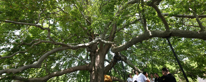 Panorama of Historical Plane Tree (Platanus Orientalis) 4 (Bursa)