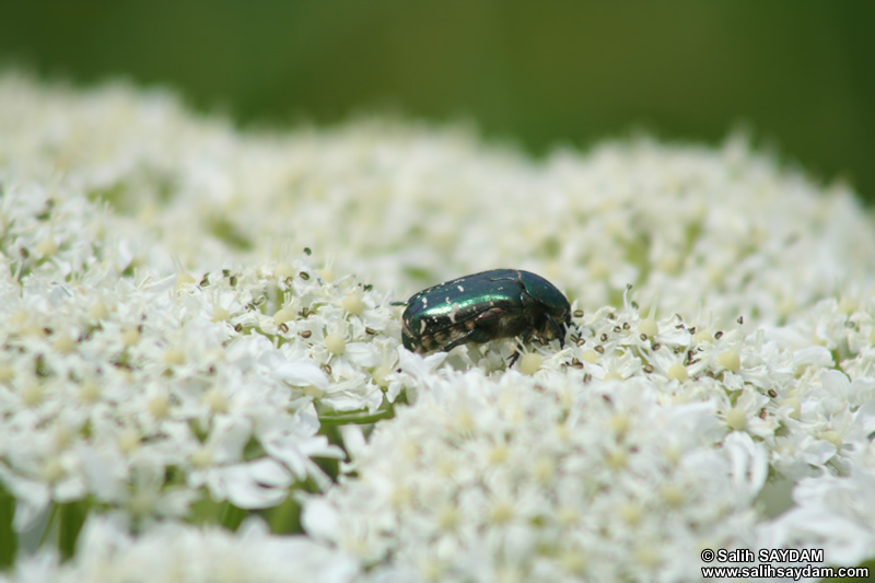Insect Photo 2 (Bartin, Amasra)