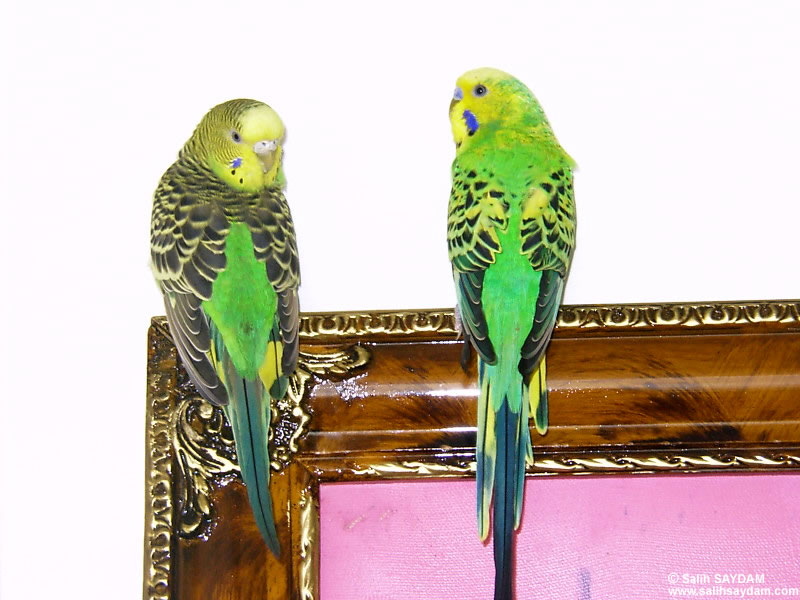 Budgerigar Photo Gallery (Cicim & Pirpir)