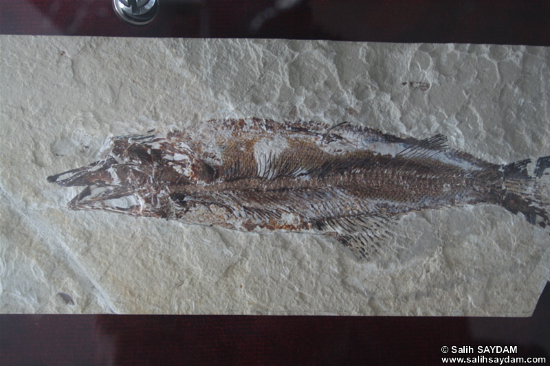 Lophius Piscatorius Fossil Photo Gallery (Izmir, Cesme)