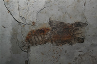 Crayfish Fossil Photo Gallery (Izmir, Cesme)