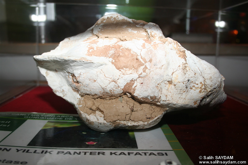 Panther Fossil Photo Gallery (Izmir, Cesme)
