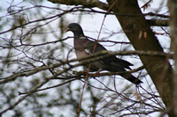 Pigeon Photo Gallery 7 (Cardiff, Whales, United Kingdom)