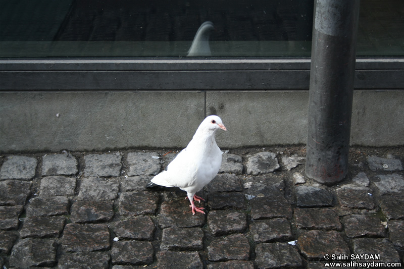 Pigeon Photo Gallery 5 (Denmark, Copenhagen)