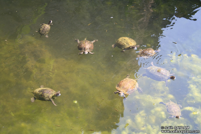 Water Turtle Photo Gallery (Mersin, Anamur (Mamure) Castle)