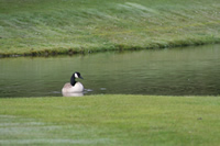 Canada Goose Photo Gallery 2 (Cardiff, Whales, United Kingdom)