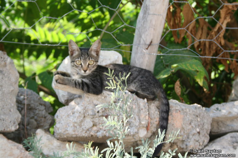 Cat Photo (Mersin, Silifke)