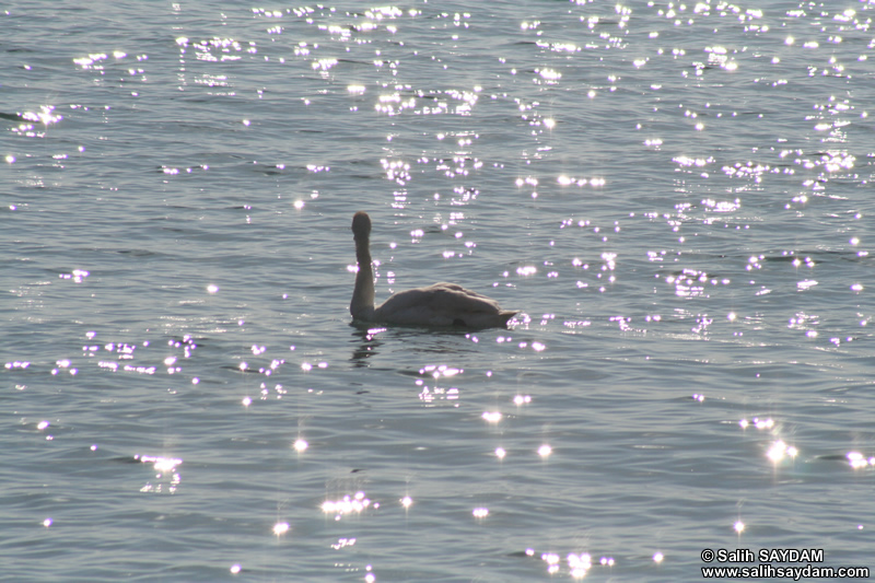Swan Photo Gallery (Bartin, Amasra)