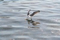 Seagull Photo Gallery 8 (Bartin, Amasra)