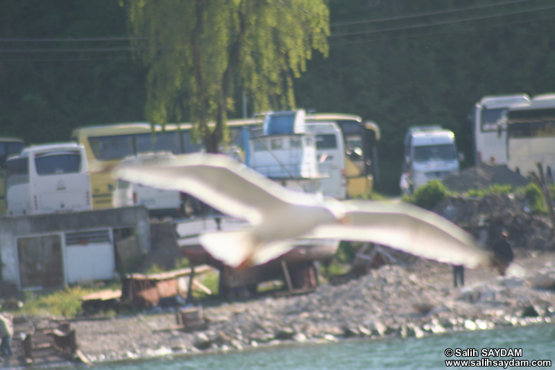 Seagull Photo Gallery 12 (Bartin, Amasra)
