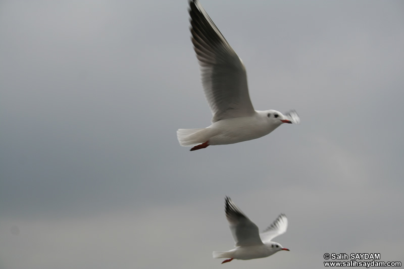 Seagull Photo Gallery 14 (Istanbul)