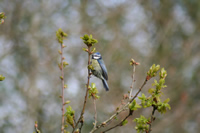 Blue Tit Photo Gallery (Cardiff, Whales, United Kingdom)