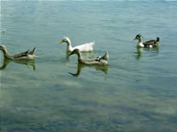 Duck Photo Gallery 1 (Sakarya, Lake of Sapanca)
