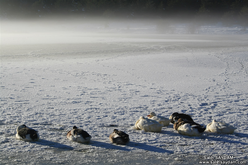 Duck Photo Gallery 3 (Bolu, Lake of Kaya)
