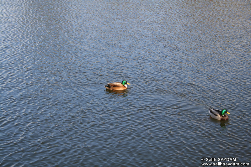 Duck Photo 4 (Denmark, Copenhagen)